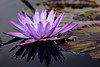 """Purple Water Lily"""