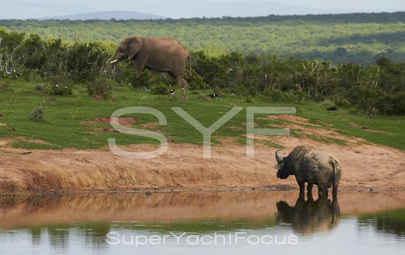 Water Buffalo and Elephant