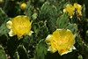"""Eastern Prickly Pear Cactus"""