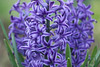 """Group of Purple Hyacinths"""