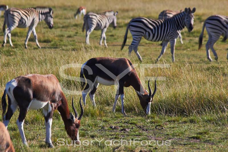 Bontebok and Zebra