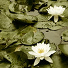 Antique Water Lillies