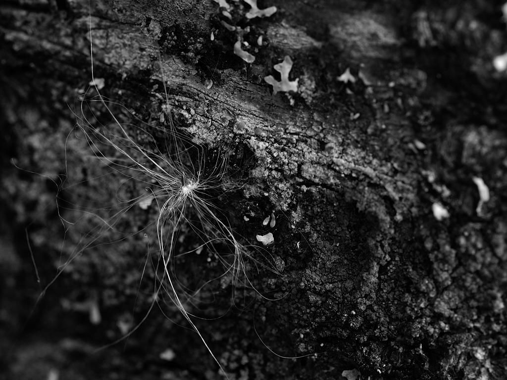 Graine de plante fixé sur l'écorce d'une Epinette / A seed has fixed itself on the tree trunk.