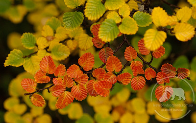 Fagus in the Autumn, Cradle Mountain National Park, Tasmania. Deciduous Beech (Nothofagus gunii) is the only Australian winter deciduous tree. It is endemic to Tasmania.