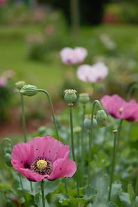 Poppies, Monet's Garden