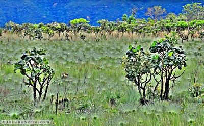 Chapéu de couro (Echinodorus grandiflorus) e Pepalantus (Paepalanthus polyanthus) copyright (c) JulianoSerra.com
