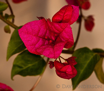 Bougainvillea, shot in the shade late in the day.