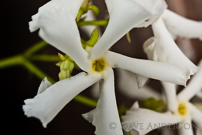 Playing with the Minolta 1x-3x Macro. Jasmine bloom, about 30mm across. 1x handheld, lit with ringflash(3 tubes of 4 active)