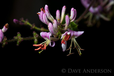 These California Honeysuckle flowers are growing at about 2,000 ft. altitude in the Santa Cruz Mountains in California. The plant is a vine that is engulfing a young Madrone.