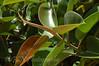 Rubber Plant taken in Menorca