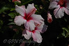 Hibiscus taken in Menorca