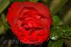 Rose taken at West Moors, Dorset