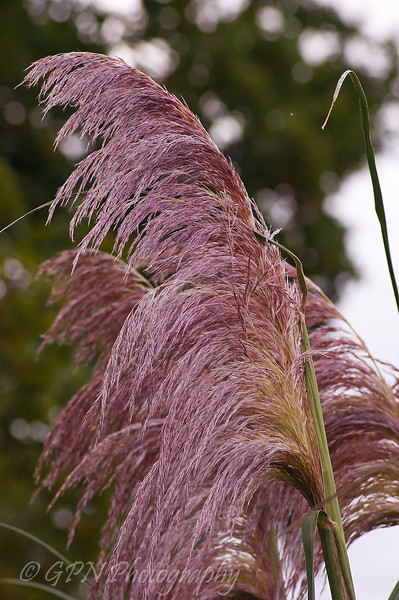 Pampus Grass growing at Marwell Zoo
