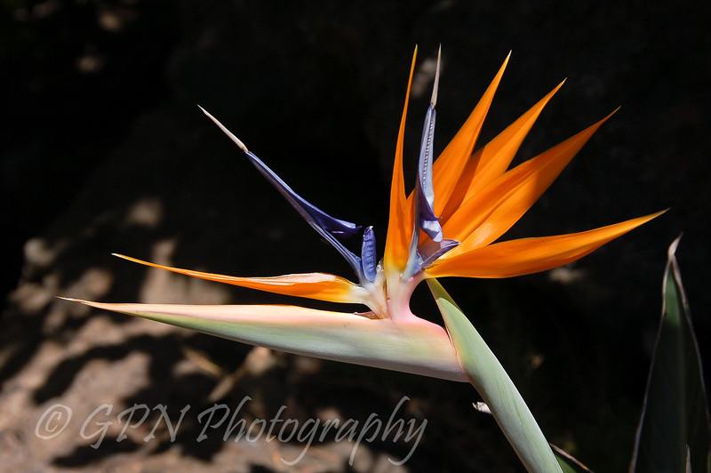 Strelitzia taken at Rancho Texas Park, Lanzarote