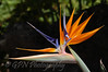 Strelitzia taken at Rancho Texas Park, Lanzarote
