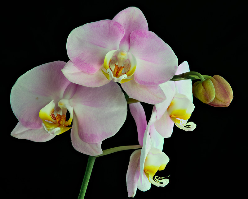 Pale Pink Orchid