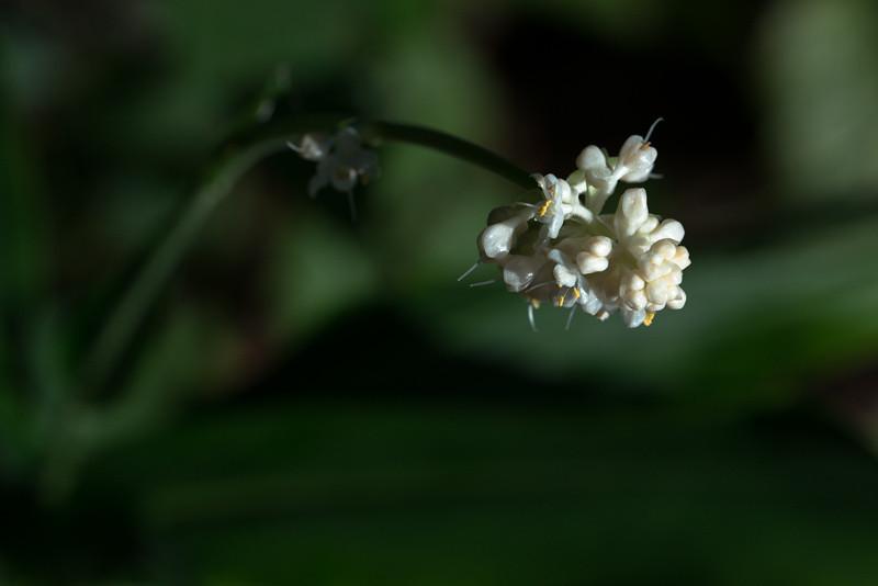 Garden Aug 24 2013<br /> <br /> Pollia japonica