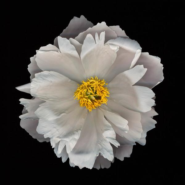 BT Flowers on Black II Nr.: 42-25536559