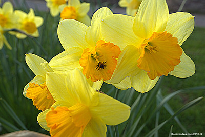 Daffodils 002 (April 2015)