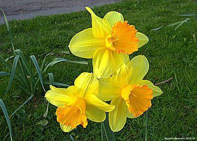 Daffodils 004