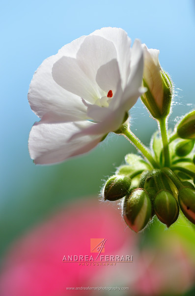 White flower with buds