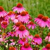 Echinacea (Cone Flowers)