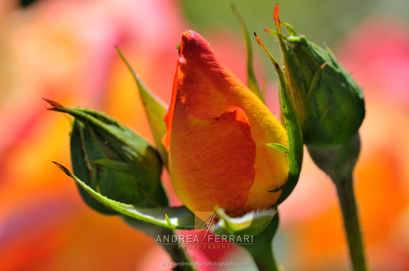 Three rosebuds