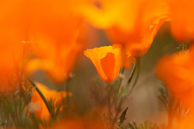 Poppy Immersed, Antelope Valley<br /> (California, 2006)