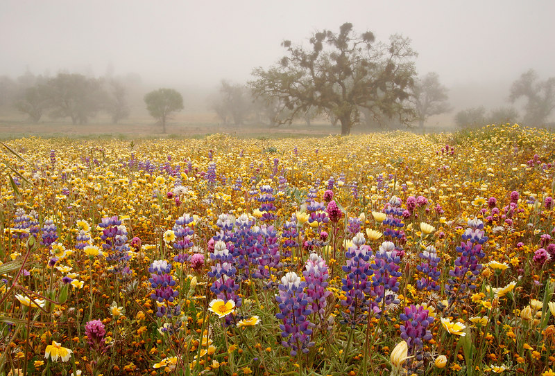 Wildflowers And Sunrise Fog, Carrizo Plains<br /> (California, 2006)