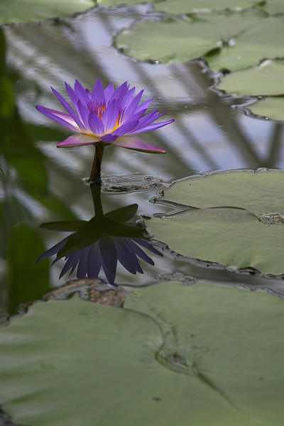 Water Lily at San Francisco Golden Gate Park