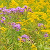 Wild (New England) Asters & Goldenrod