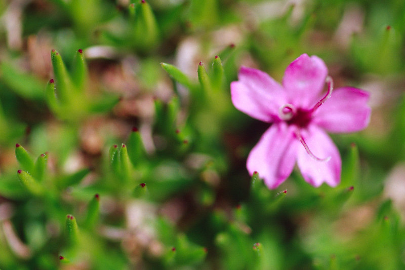Blurred Wildflower, Denali NP<br /> (Alaska, 2004)