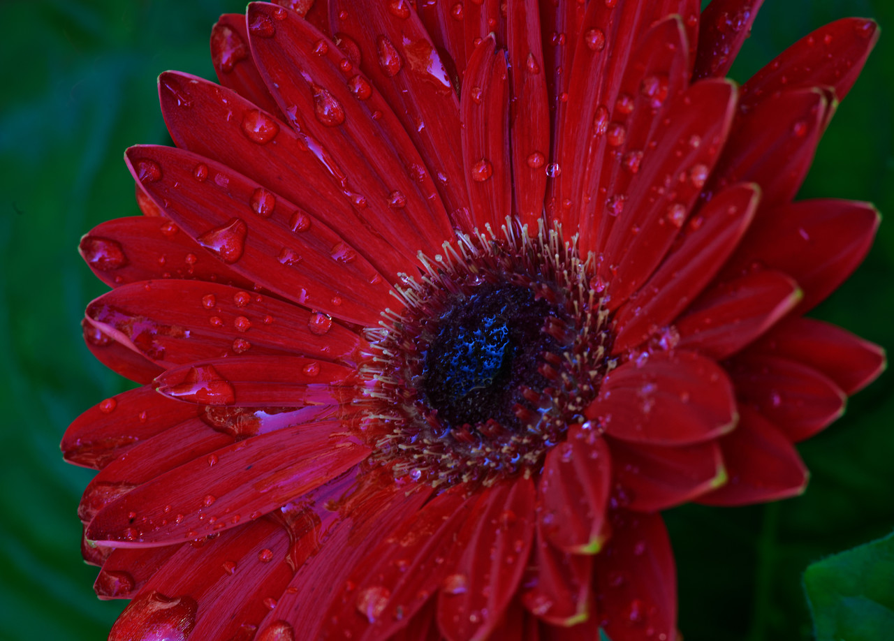 Red Gerber Daisy Wakes to the New Morning