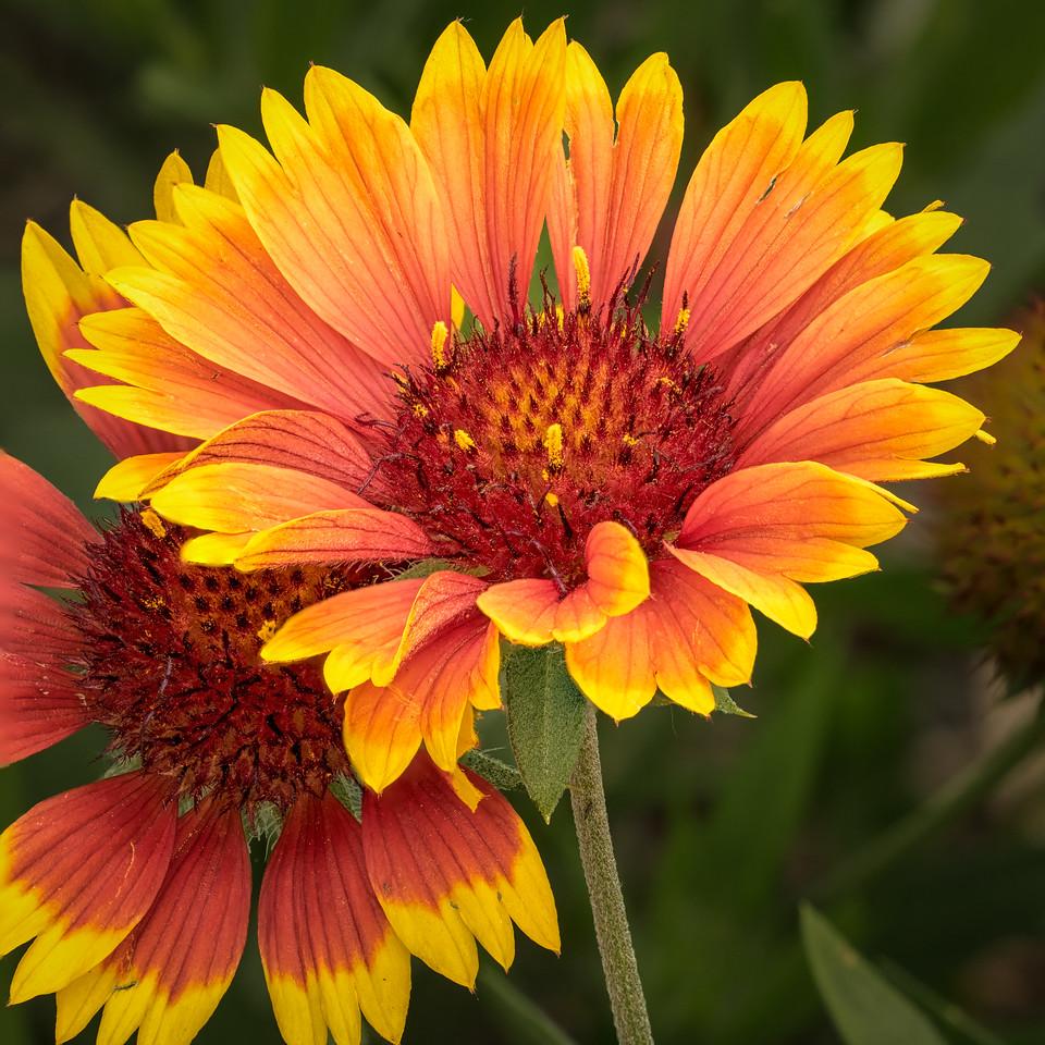 Blanket flower; 12x12
