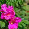 Rugosa Roses (Wrinkled Roses)