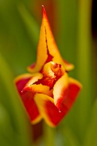 Flowering Tulip