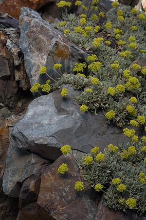 Bear Valley Buckwheat