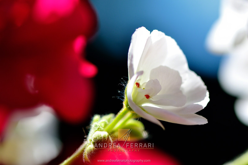 White flower in red and white clouds