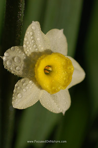 Wet Narcissus
