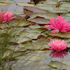 Water Lilies, Ames Pond, ME