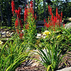 Cardinal Flowers