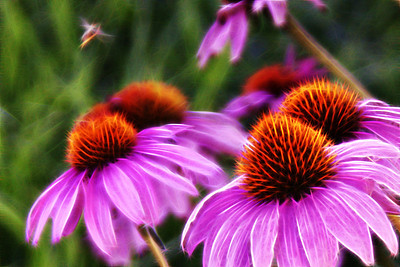 Buzzing Around Echinacea