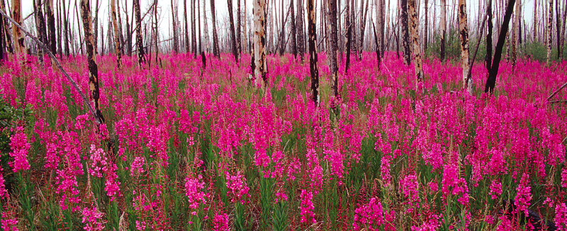 Fireweed and Scorched Trees, Yukon<br /> (Canada, 2004)