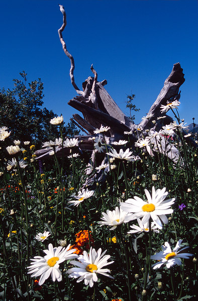 Gnarled Stump and Wildflowers, Richardson Highway<br /> (Alaska, 2004)