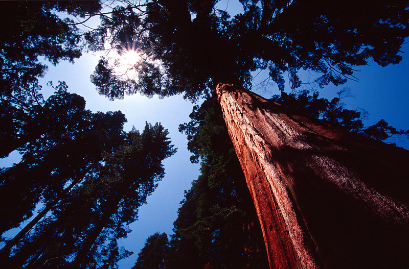 Towering Sequoia, Sequioa NP<br /> (California, 2003)