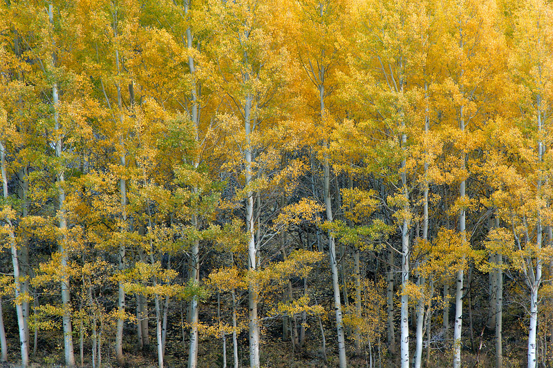 Yellow Aspens, Eastern Sierra <br /> (California, 2005)