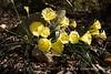 Plant Delights display garden- hoop petticoat daffodils