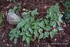 Plant Delights 2/8/13 Epimedium