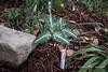 Plant Delights- Trillium decipiens 2/8/13