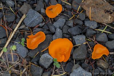 Orange Peel Mushroom